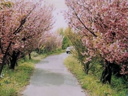 【桜・見ごろ】高地谷林道のさくら道