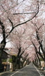 【桜・見ごろ】灘区高尾通の桜のトンネル