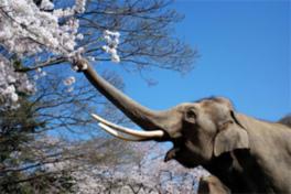 【桜・見ごろ】王子動物園