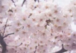 【桜・見ごろ】浅野公園