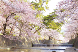【桜・見ごろ】夙川公園