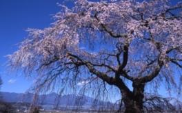 【桜・見ごろ】関所破りの桜(佐久市浅科地区)