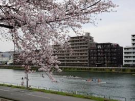 【桜・見ごろ】戸田公園