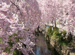 かまがわ・川床・桜まつり