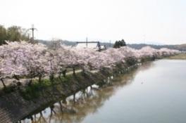【桜・見ごろ】野洲川岩上橋付近