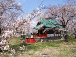 【桜・見ごろ】正の木稲荷神社