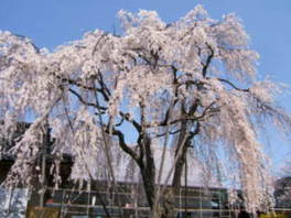 【桜・見ごろ】福寿院