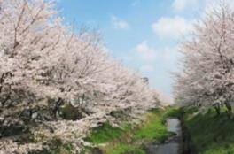 【桜・見ごろ】防賀川桜並木