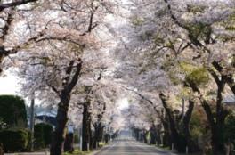 【桜・見ごろ】松栄桜並木