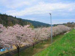 【桜・見ごろ】阿仁河川公園