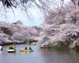 【桜・見ごろ】井の頭恩賜公園
