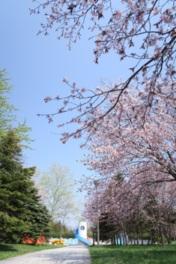 【桜・見頃】モエレ沼公園