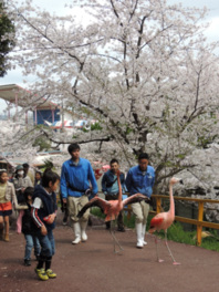 【桜・見頃】池田動物園