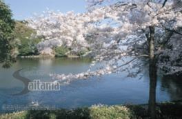 【桜・見ごろ】大宮公園