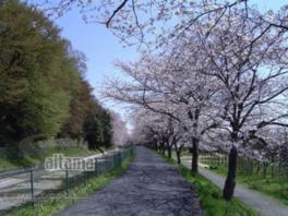 【桜・見ごろ】緑のヘルシーロード