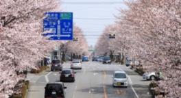 【桜・見ごろ】さつき大通り