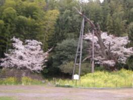 【桜・見ごろ】魚見桜