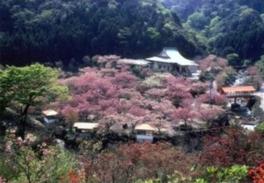 【桜・見ごろ】一心寺のボタンザクラ