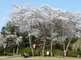 【桜・見ごろ】尾関山公園