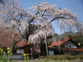 【桜・見ごろ】三次・福泉坊のしだれ桜