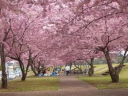 おやま千本桜まつり