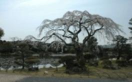 【桜・見ごろ】衆楽園