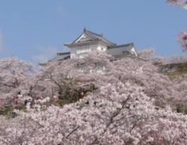 【桜・見ごろ】津山城(鶴山公園)