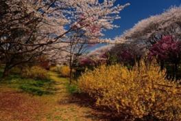 国営昭和記念公園 瀬戸豊彦写真展 春「東京の桜名所案内」