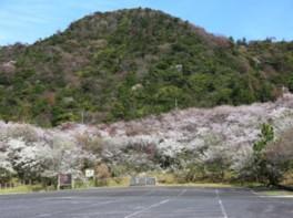 【桜・見ごろ】青海島さくらの里