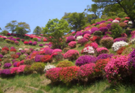【花・見ごろ】熊野山公園のツツジ