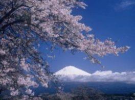 【桜・見ごろ】興徳寺