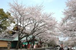 【桜・見ごろ】富士山本宮浅間大社