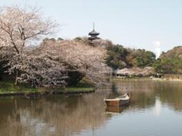 【桜・見頃】三溪園