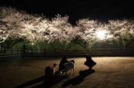 夜桜ライトアップ(成田ゆめ牧場)