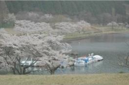 【桜・見ごろ】志高湖