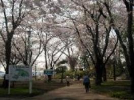 【桜・見ごろ】三八城公園
