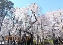 【桜・見ごろ】真間山弘法寺
