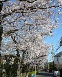 【桜・見ごろ】桜土手公園