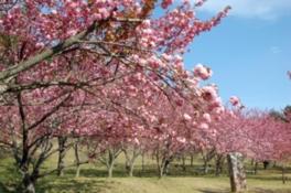 【桜・見ごろ】えぼし公園