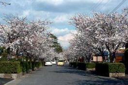 【桜・見ごろ】蓮池公園