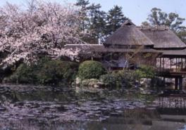 【桜・見ごろ】神野公園