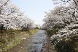 【桜・見ごろ】笹原川千本桜