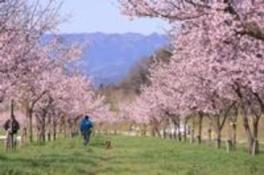 第3回坂戸にっさい桜まつり