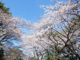 【桜・見ごろ】須和田遺跡(須和田公園)