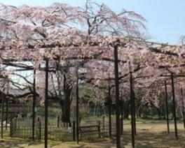 【桜・見ごろ】原木山妙行寺