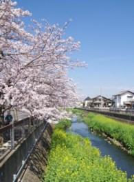 【桜・見ごろ】大柏川沿い