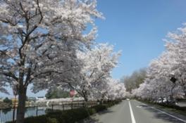 庄原上野公園 桜まつり