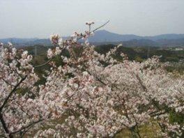 【桜・見ごろ】苗木さくら公園