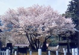 【桜・見ごろ】中将姫誓願桜