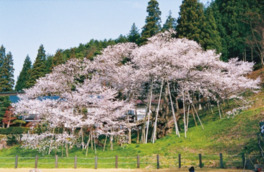 【桜・見ごろ】臥龍桜